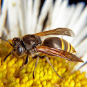 Honey wasp