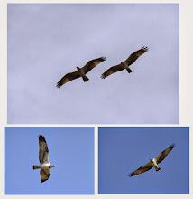 Photo: 撮影者:福本 健 ミサゴ タイトル:ランデブー 観察年月日:2014年9月21日 羽数:2羽 場所:多摩川立日橋付近 区分:猛禽 メッシュ:立川2B コメント:良く見8佐護を見かけるので、カメラをもって散歩していたら、ミサゴが2度川に飛び込んだか、餌を捕りそこなった。そこにもう一羽ミサゴがやってきて、仲良くランデブーしていた。