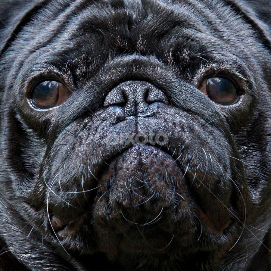 Niilo by Mia Ikonen - Animals - Dogs Portraits ( glossy coat, face, short-muzzled face, pet, finland, cute, wrinkly, pug, black,  )