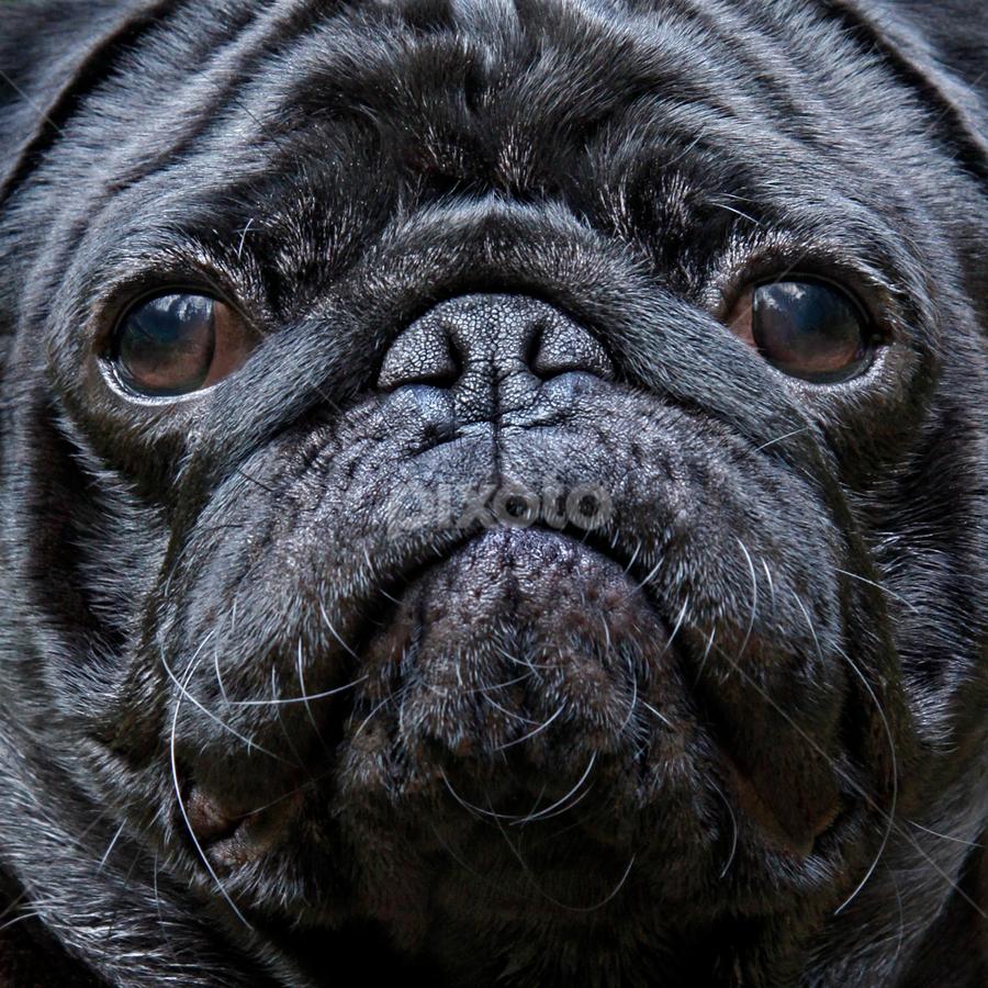 Niilo by Mia Ikonen - Animals - Dogs Portraits ( wrinkly, mia ikonen, face, pug, black, canine, cute, pet, finland,  )