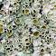 Smooth Axil-bristle Lichen