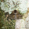 Lymantrid  Moth