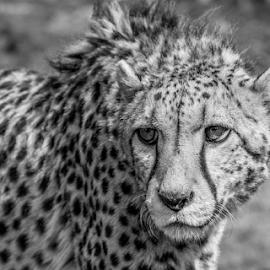 Cheetah by Garry Chisholm - Black & White Animals ( nature, big cat sanctuary, cheetah, smarden, garry chisholm )