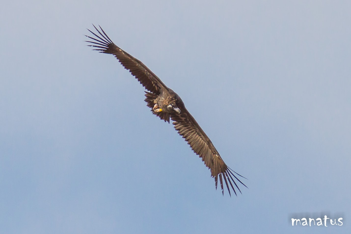 manatus buitre negro volando