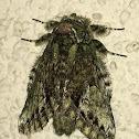 White-blotched Heterocampa Moth
