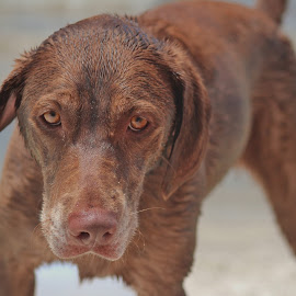 salty dog by Eric  Adamski - Animals - Dogs Playing ( play, nose, wiskers, focus, chocolate lab, lab, brown, eyes, sand, ears, beach, sandy, dog,  )