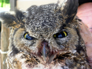 Photo: Close up of the face & eyes of the dead Great Horned Owl