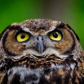 The Wise One by Max Molenaar - Animals Birds ( animals, nature, owl, wildlife, birds )