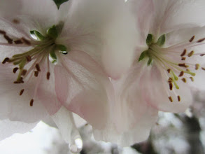 Photo: Closeup of two apple blossoms in the rain at Eastwood Park in Dayton, Ohio.