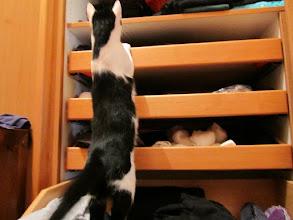 Photo: Das Aufräumen des Wäschekastens nimmt hier jede Katze seeeeehr ernst! :-D
