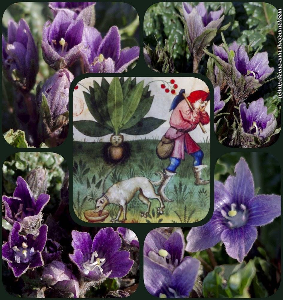 Mandragora-collage-a