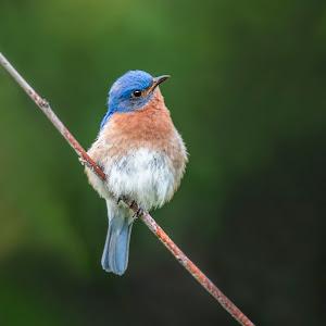 Sue Matsunaga Male Bluebird.jpg