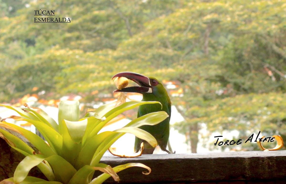 Túcan Esmeralda o Tucancito Verde