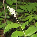 False Lily-of-the-Valley