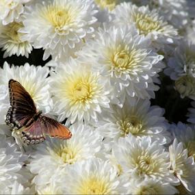 Brown is Beautiful by Darlene Lankford Honeycutt - Flowers Flower Gardens ( butterfly, white, gardens, dl honeycutt, mums, flowers )