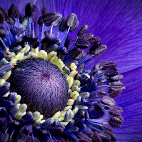 Stunning Details by Johannes Oehl - Flowers Single Flower ( plant, extreme, purple, beautiful, bloom, pretty, close up, close-up, blossom, macro, pollen, color, focus stacking, detailed, anemone, lovely, stamen, flower,  )