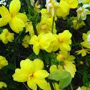 Japanese jasmine (Κίτρινο γιασεμί)