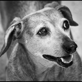 Georgia by Dave Lipchen - Black & White Animals ( black and white, dachshund, dog )