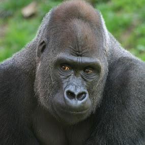 Western Lowland Gorilla by Ken Keener - Animals Other Mammals ( western lowland gorilla, ape, male, silverback, gorilla )