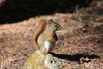 Photo: Wells Gray PP - Eichhörnchen