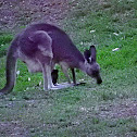 Eastern Grey Kangaroo(female and Joey)