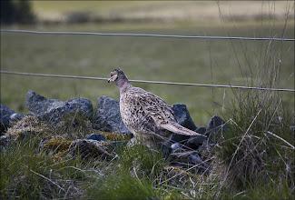 Photo: Bird N°12 - Pheasant ♀ Latin: Phasianus colchicus