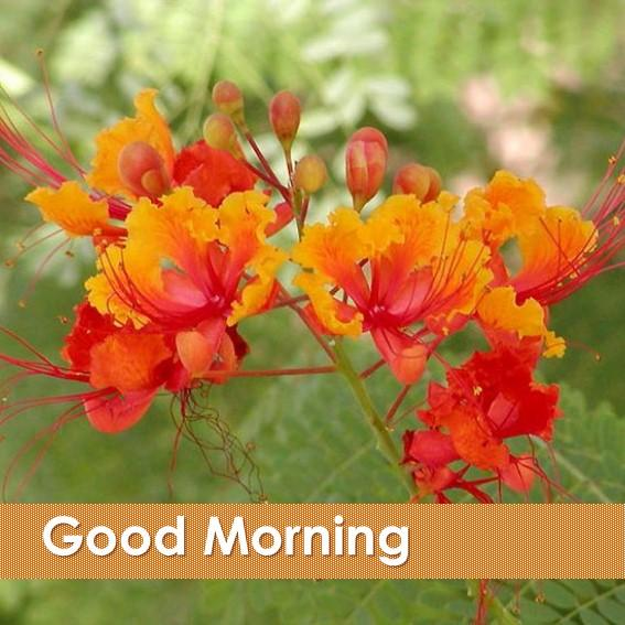 good morning flower  android apps on google play, Beautiful flower