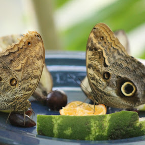 hungry friends by Sarah Nelson - Animals Insects & Spiders ( butterfly, partners, eating, brown, moth )