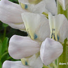 White Nootka Lupine