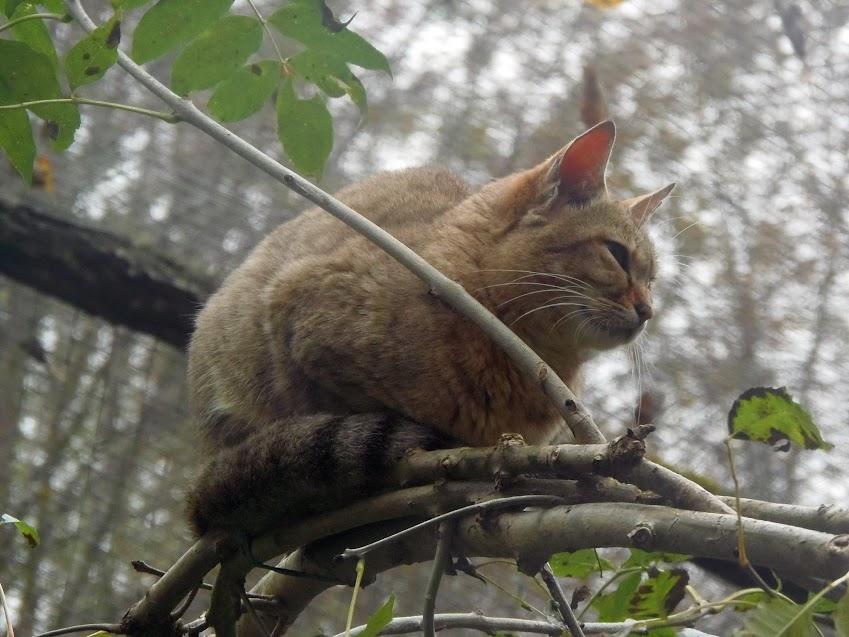 Chat sauvage africain, Parc des Félins - Tous droits réservés