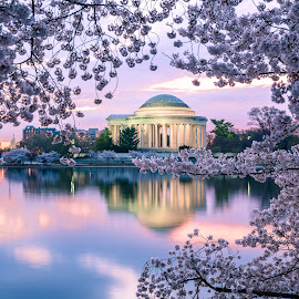 Cherry Blossoms, Washington DC by Ed Shanahan - City,  Street & Park  Vistas ( washington dc, cherry blossoms, sunrise, reflections, jefferson memorial, blue hour, tidal basin )