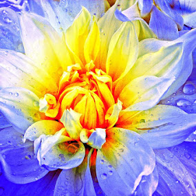 Dahlia Blues by Sami Ur Rahman - Nature Up Close Flowers - 2011-2013 ( macro, purple shade, dahlia, colour contrast, droplets )