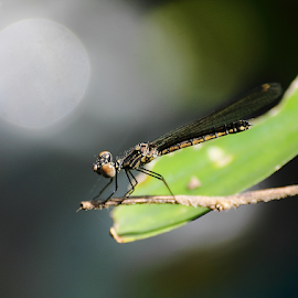 Libellago lineata by Deny Afrian Wahyudi - Animals Insects & Spiders ( dragonfly, denywahyudi, biodiversity, nature, wildlife )