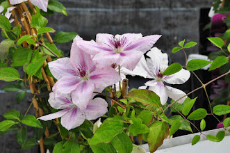 Photo: Clematis 'Pink Flamingo'