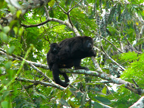 Photo: Howler Monkey with baby