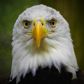 The eyes of a bald eagle by Mary Gallo - Animals Birds ( macro, both eyes, nature, bird, eagle, yellow eyes, nature up close, bald eagle, white head, yellow beak, eyes, nature photography,  )