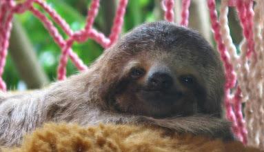 Photo: Sloth named Sunshine at 1 1/2 months 2003