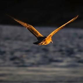 Fly free by Gabriel Cabrera - Animals Birds ( flying, animals, nature, freedom, sea, birds )