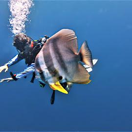 by Phil Bear - Animals Fish ( batfish, fish, scuba, underwater, maldives )