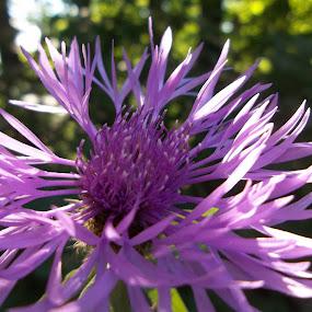 Цвете by Georgi Kolev - Flowers Single Flower ( слънце., гора., ден., цвете., цветове. )