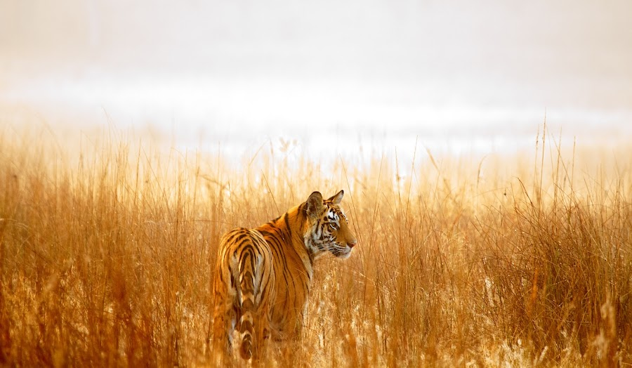 Tiger rising by Vijay Nagarajan - Animals Lions, Tigers & Big Cats ( cats, tiger, wildlife, india, mammal )