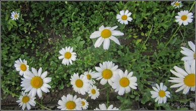 """Photo: Margaretă (Leucanthemum.... ) - de pe Str. rapsodiei, zona Scoala """"Avram Iancu"""" -  2017.05.26"""