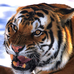 Bengal Tiger in the Snow by William Rainey  - Animals Lions, Tigers & Big Cats ( cats, animals, wildlife, india, arkanas,  )