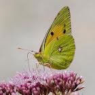 Mariposa (Clouded yellow)