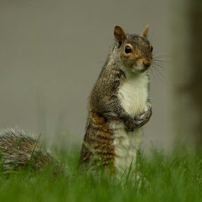 looking by Francois Larocque - Animals Other Mammals ( stand, grass, backyard, rodent, mammal, squirrel )