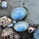 Blue shield limpet