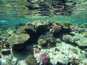 Photo: На поверхности рифа под самой кромкой воды живет множество рыб, в том числе столь красивые, как изящная рыба-хирург (желтошипая рыба-носорог)