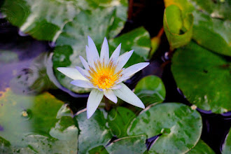 Photo: Water Lily Ready for the morning!
