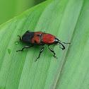 Bromeliad Weevil