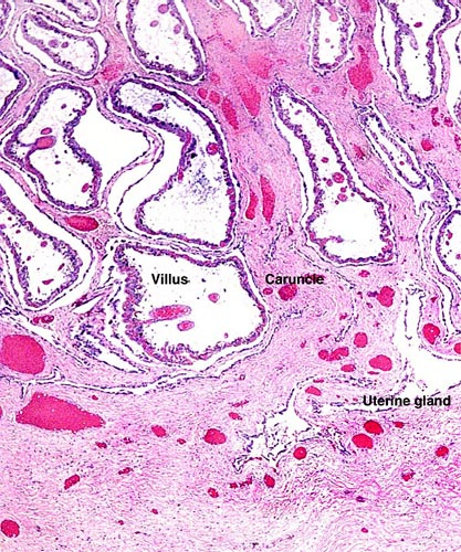 Attachment of villi to the caruncle floor